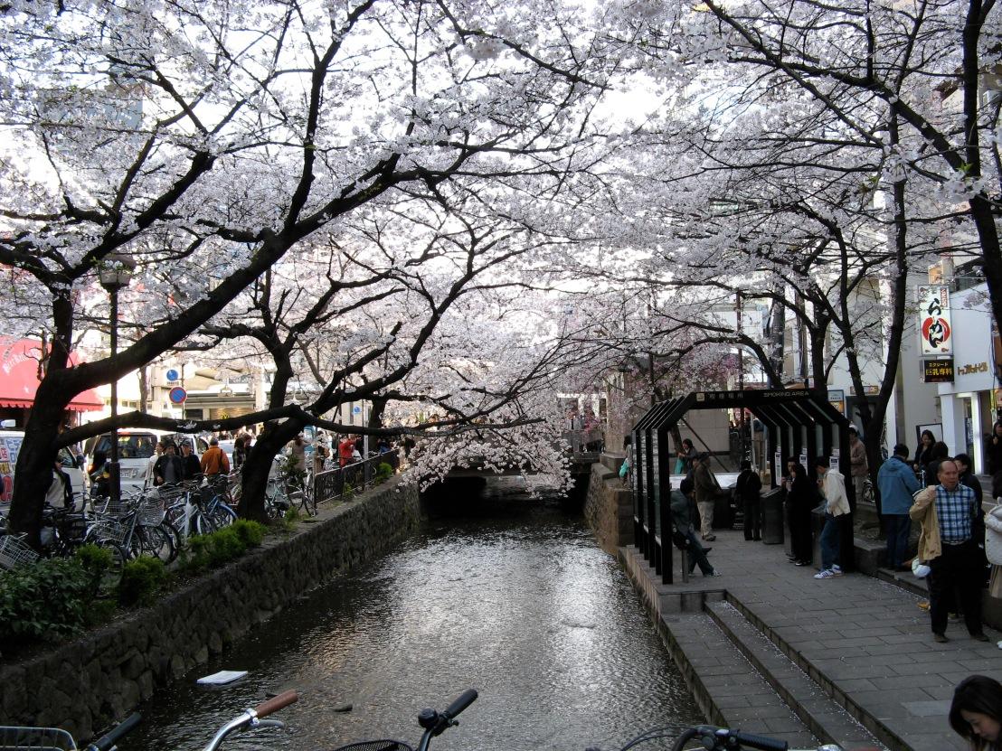 Cherry Blossom Kiyamachi